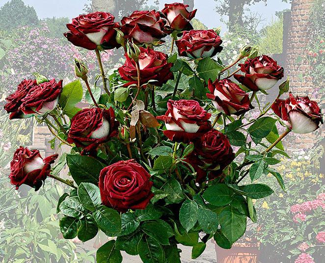Букет роз Osiria
