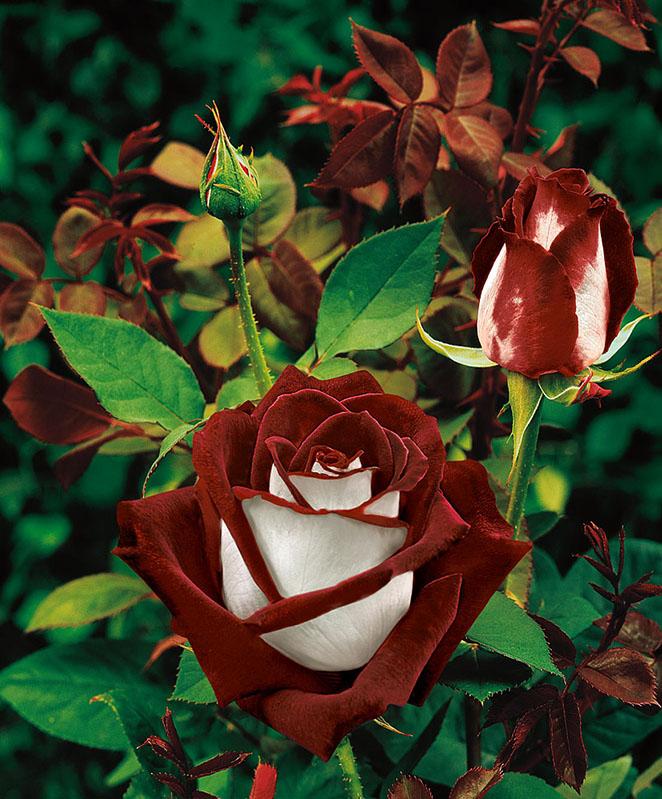 Роза Osiria