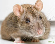 Как крыса спасла жизнь шахтёру