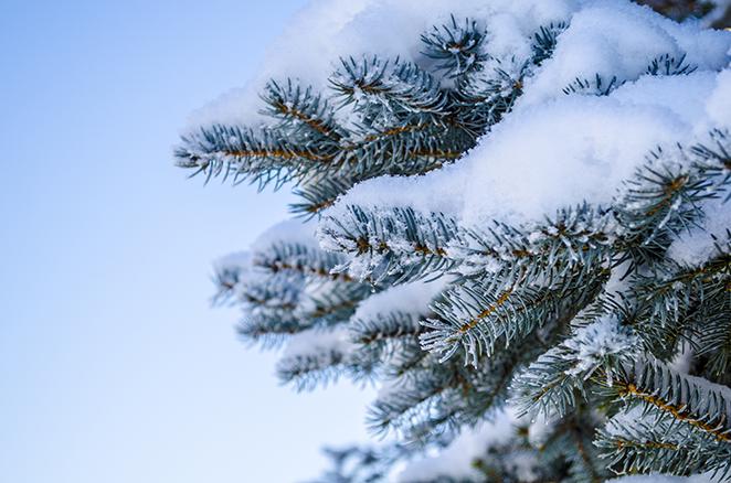 Зимняя прогулка - Сосна