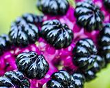 Куст с ягодами похожими на ежевику